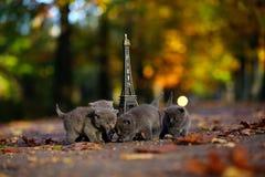 英国Shorthair小猫和游览埃菲尔 图库摄影