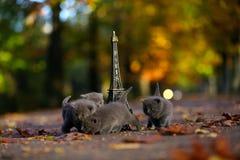英国Shorthair小猫和游览埃菲尔 免版税图库摄影
