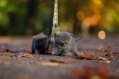 英国Shorthair小猫和游览埃菲尔 免版税库存图片