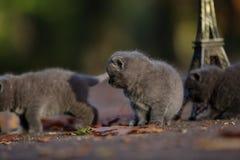 英国Shorthair小猫和游览埃菲尔 免版税库存照片