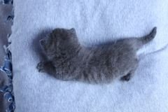 英国Shorthair小猫在一个小围场,白色篱芭 免版税库存图片