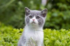 英国shorthair小猫在草中的庭院和神色里坐对边 在背景的绿草 免版税库存图片