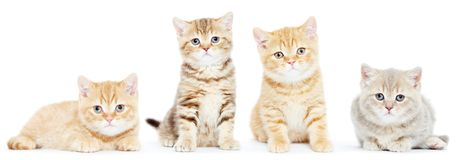 英国Shorthair小猫猫 免版税库存图片