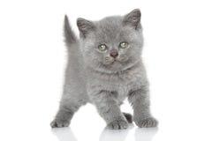 英国Shorthair小猫纵向 免版税图库摄影