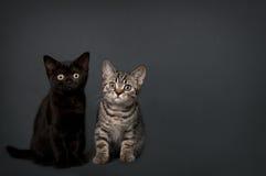 英国Shorthair小猫 免版税图库摄影