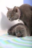 英国Shorthair母亲拥抱她的婴孩 图库摄影