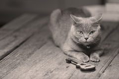 英国Shorthair猫和吉他 图库摄影