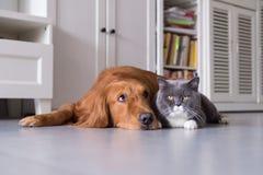 英国shorthair猫和金毛猎犬 库存图片