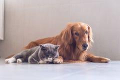 英国shorthair猫和金毛猎犬 免版税库存照片