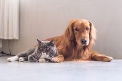 英国shorthair猫和金毛猎犬 图库摄影