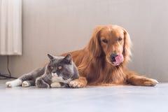 英国shorthair猫和金毛猎犬 免版税库存图片