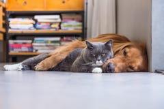 英国shorthair猫和金毛猎犬 库存照片