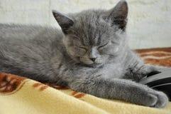 英国Shorthair猫在与计算机老鼠的坏睡觉 免版税库存照片