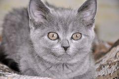 英国Shorthair猫坐坏并且今后看 库存照片