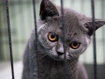 英国Shorthair猫孩子在笼子被困住 免版税图库摄影
