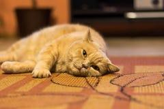 英国shorthair猫是懒惰说谎在地毯 国内可爱的猫放松 免版税库存照片