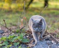 英国shorthair猫狩猎鸟和老鼠在庭院之外 免版税库存照片