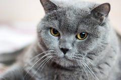 英国Shorthair猫, 8岁特写镜头  免版税库存照片