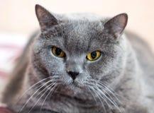 英国Shorthair猫, 8岁特写镜头  库存图片