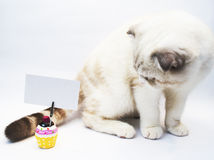英国shorthair猫 免版税图库摄影