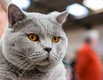 英国Shorthair猫 免版税库存照片