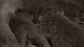 英国Shorthair蓝色小猫新的borns,特写镜头 股票录像