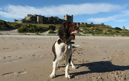 英国Spinger西班牙猎狗,与作为他的冠的Bamburgh城堡 库存图片