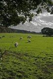 英国wirral农田的绵羊 免版税库存图片