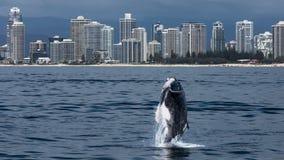 英属黄金海岸,澳大利亚- 2017年10月8日:小须鲸小牛跳 免版税库存照片