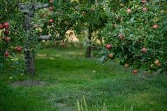 苹果不列颠哥伦比亚省果树园osoyoos 免版税图库摄影