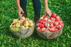 苹果两个篮子  库存照片