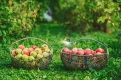 苹果两个篮子  库存图片