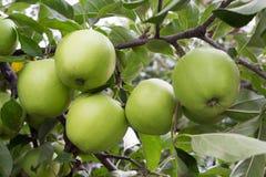 苹果五 免版税图库摄影
