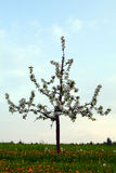 苹果偏僻的结构树 免版税库存图片