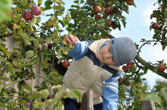 苹果儿童挑选 库存照片
