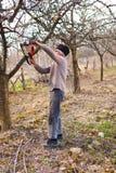 苹果农夫老结构树修整 免版税图库摄影