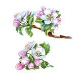 苹果分支开花的树 水彩 向量 库存例证