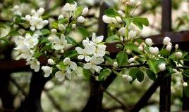 苹果分行开花的树 库存图片