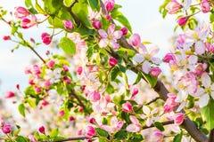 苹果分行开花的树 免版税库存图片