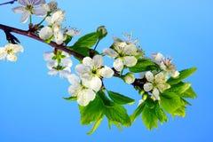 苹果分行开花结构树 免版税库存照片