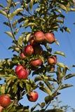 苹果分行成熟结构树 免版税库存照片