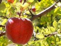苹果可口红色 库存图片