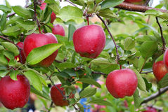 苹果可口红色 库存照片