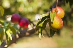 苹果和桃子在他们的分支 免版税库存图片