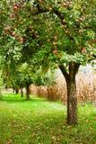 苹果园结构树 免版税库存图片