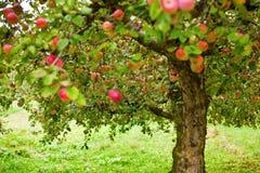 苹果园结构树 库存图片