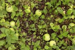 苹果在一棵树下在果树园 库存照片