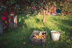 苹果在庭院里在秋天 库存图片