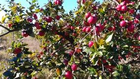 苹果在庭院里 股票录像