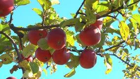 苹果在庭院里